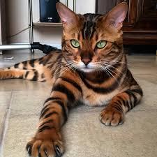Gato de Bengala o Gato Bengalí